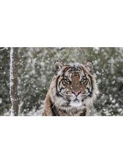 Tigers in the Snow