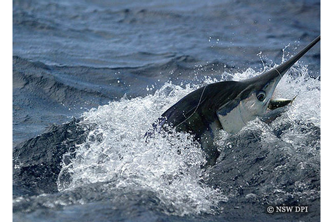 Blue marlin | Game fish tagging program The NSW Department ...