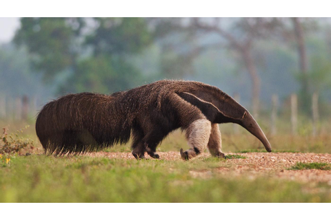 Anteater Wallpapers High Quality | Download Free