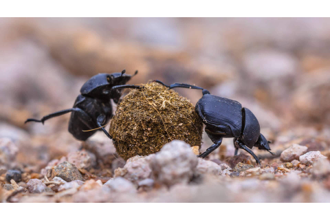 Dung Beetle Facts, Information, Pictures and Video. Learn More