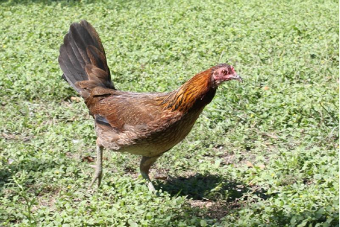 Breed Savers: Standard Old English Game Fowl