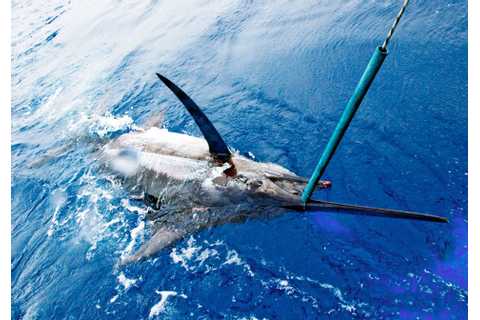 Best time for Fishing Blue Marlin in Madeira 2020 - Best ...