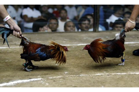 'Chicken boxing is not cockfighting', says Louisiana ...