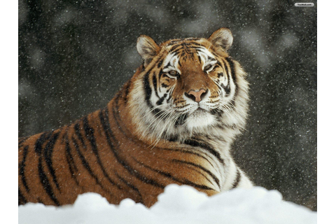 Snow Tiger Wallpaper - WallpaperSafari