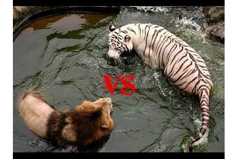 Lion vs Tiger-Who is the real King? - YouTube