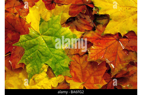 Fall foliage maple-leaves colorfully scatters [M] leaves ...