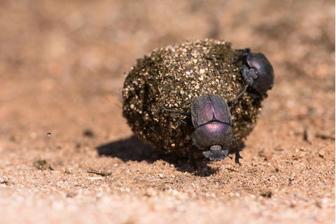 Wild Facts Sabi Sabi Private Game Reserve | Dung Beetles