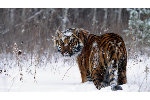 Snow Tiger Wallpapers - Wallpaper Cave