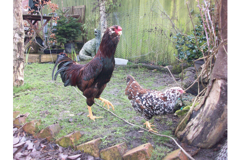 Indian Game For Sale | Chickens | Breed Information | Omlet