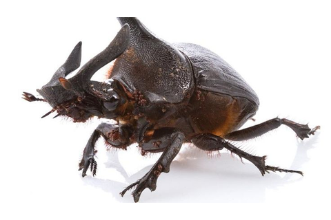 29 best • dung beetles • images on Pinterest | Beetles ...
