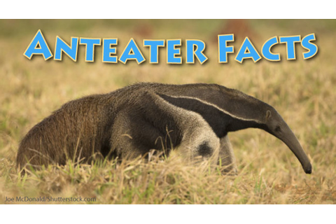 Anteater Facts & Information For Kids, With Pictures & Video.