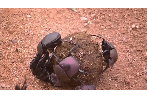Dung Beetles Fighting @ Balule Game Reserve - YouTube