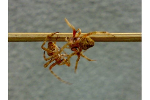 Spider fighting - Wikipedia