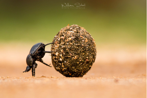 A dung beetle pushes a large dung ball. Photographed in ...