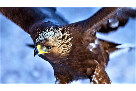 20 Largest Birds of Prey - YouTube