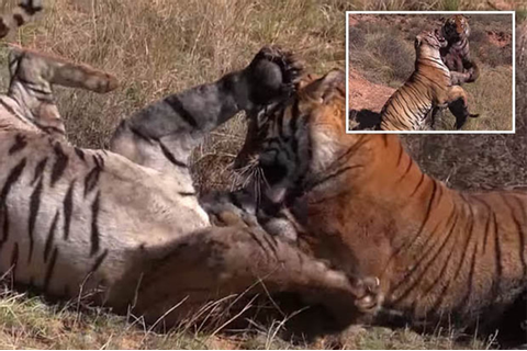 Incredible up-close clip captures two tigers fighting for ...
