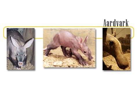 Aardvarks - info and games