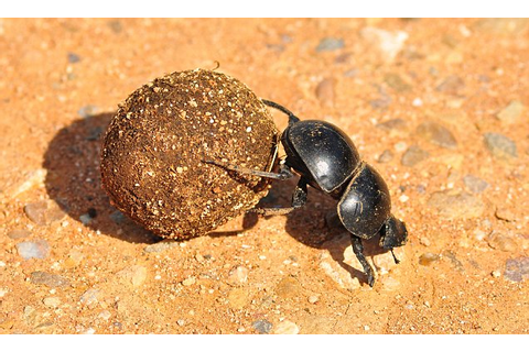 Dung beetles use the sun and stars to navigate | Daily ...