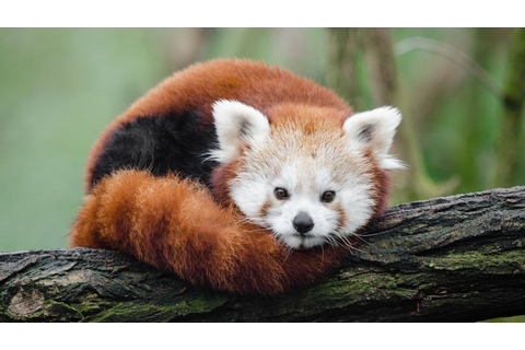 The Verge Review of Animals: the red panda - The Verge