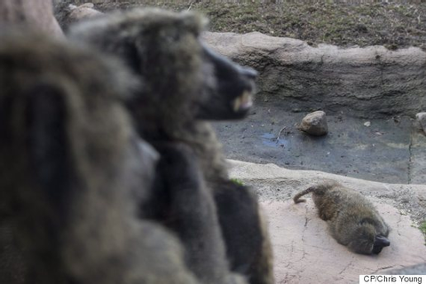 Toronto Zoo Baboons Battle For Power After Matriarch Dies ...