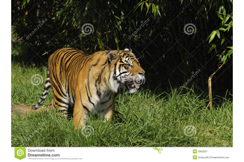 Bengal tiger on the prowl stock image. Image of dangerous ...