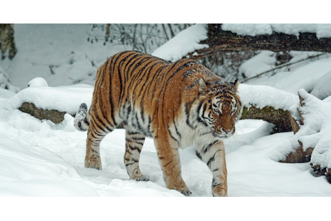 Tiger on Snow · Free Stock Photo