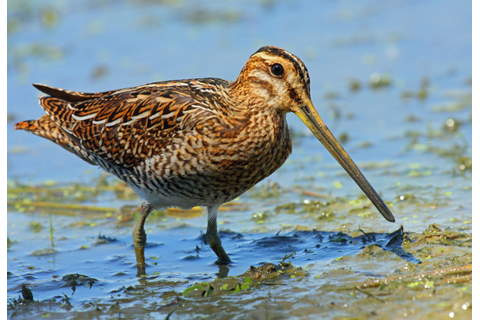 Snipe | British Food: A History