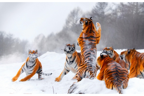 Wallpaper winter, snow, tiger, jump, the game, hunting ...