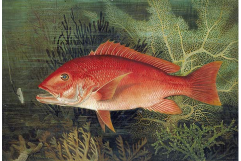 Red Snapper, from 'Game Fishes of the Un - S.A. Kilbourne ...