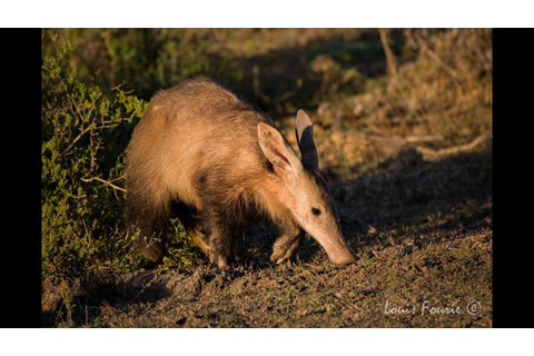 Awesome Aardvark | Kariega Game Reserve - YouTube