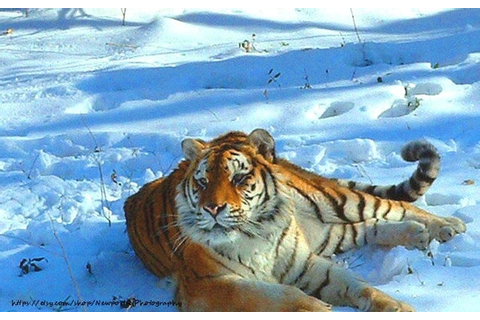 Items similar to Orange Siberian Tiger in White Snow ...