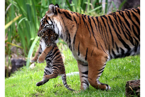 Tigress Mother Carries Her Baby In A Safe Place ...
