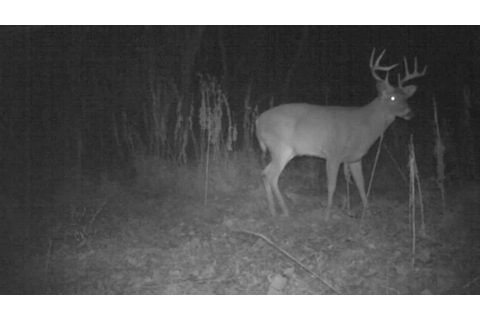 8 point whitetail buck on game camera. - YouTube