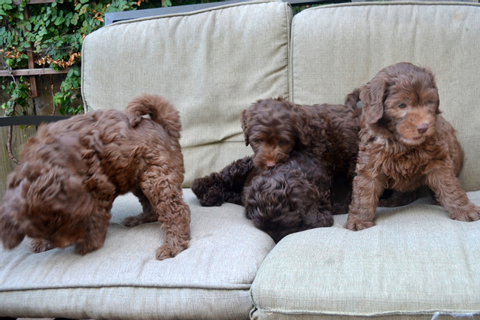 Golden Gate Labradoodles: Authentic Australian ...