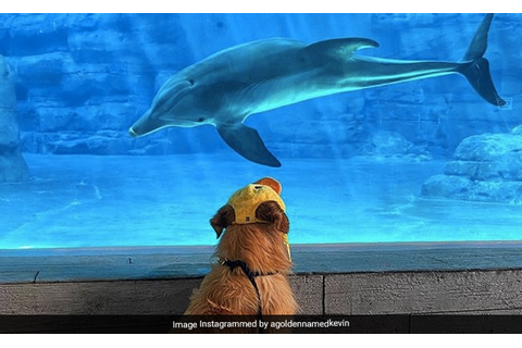 Golden Retriever Makes Friends With Dolphins. Video Is ...