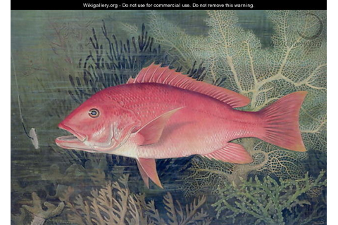 Red Snapper from Game Fishes of the United States - S.A ...
