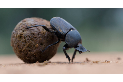 Dung Beetles | The Lion Guard Wiki | FANDOM powered by Wikia
