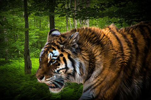 Tiger on the Prowl No.9740 A Fine Art Big Game Cat Wildlife