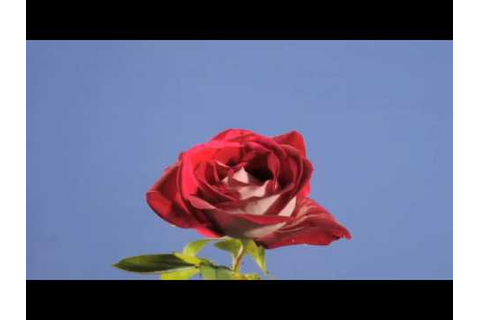 Red rose flower opening time-lapse - YouTube