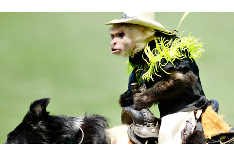 PHOTOS: Monkey Rodeo at Revs Game