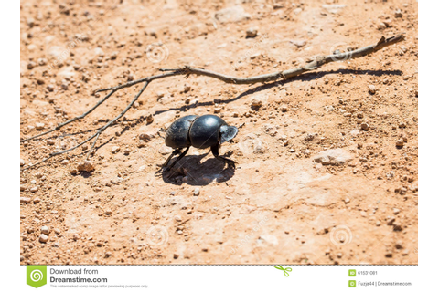 Dung Beetle Stock Photo - Image: 61531081