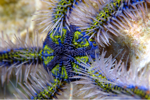 Brittle Star: Fascinating Sea Life