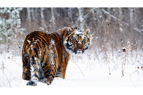 Tiger in Snow Wallpapers | HD Wallpapers | ID #467