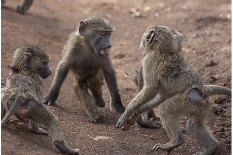 Young baboons playing – Roumazeilles.net