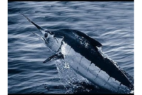 Facts: The Blue Marlin - YouTube
