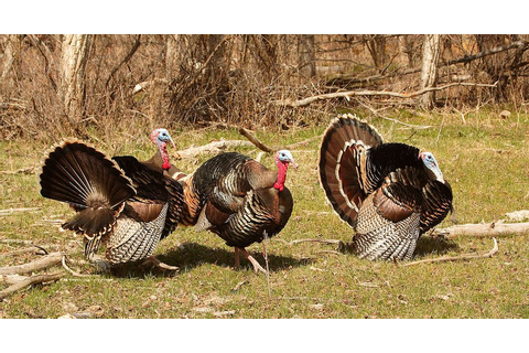 Want to Add Wild Turkey to Your Thanksgiving Table?