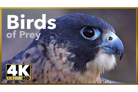 Birds of Prey, 4K 60P stock footage demo - YouTube