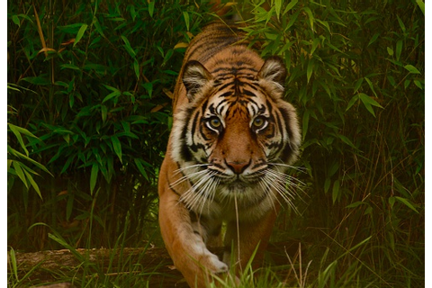 Tiger On The Prowl Stock Photo - Download Image Now - iStock