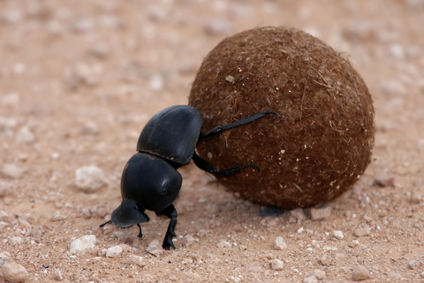 Dung Beetle | The Parody Wiki | FANDOM powered by Wikia