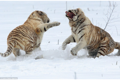 Pictures capture the moment two rare white tigers fight it ...